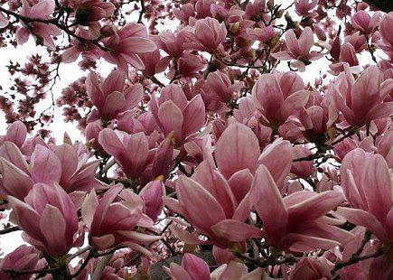 Steel Magnolias Designscapes Of Nc Ltd
