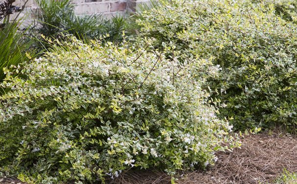 Raleigh Landscaping, Raleigh Landscape Contractors, Raleigh Garden Designers, Garden Design, Raleigh Landscapers, Landscaping, Pollinator Gardens, Pollinators, Fragrant Flowers, Scents of Spring, Scents of Summer, Senses, Sensory Gardens, Miss Lemon Abelia