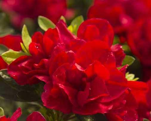 Raleigh Landscaping, Raleigh Landscape Contractors, Raleigh Garden Designers, Perennials, Fall Bloomers. Early Fall Bloomers, Fall Gardening, October Magic Rose Camellia, Camellias, October Magic Camellias, October Magic Series, Camellias