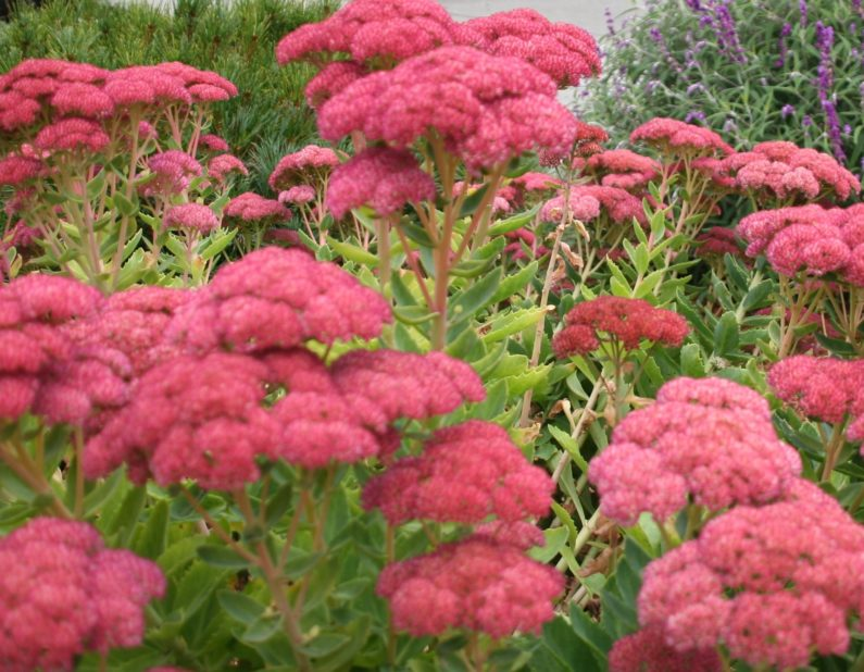 Raleigh Landscaping, Raleigh Landscape Contractors, Raleigh Garden Designers, Perennials, Fall, Autumn Joy Sedum