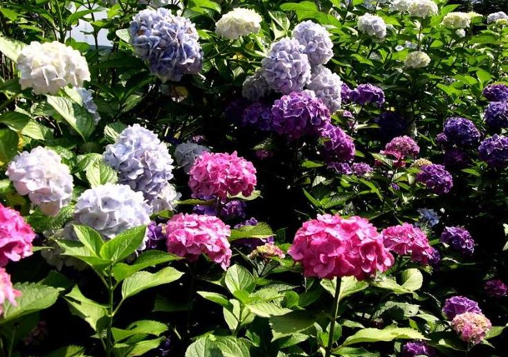 Raleigh Landscaping, Raleigh Landscape Contractors, Raleigh Garden Designers, Garden Design, Raleigh Landscapers, Landscaping, Fragrant Flowers, Scents of Spring, Springtime, Water-Wise Gardens, Watering