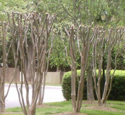 Raleigh Landscaping, Raleigh Landscape Contractors, Raleigh Garden Designers, Garden Design, Raleigh Landscapers, Landscaping, Deciduous Trees, Flowering Trees, Crape Myrtle, Crape Murder, Tree Topping, Pruning