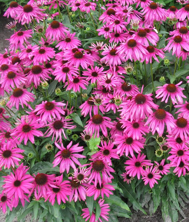 Raleigh Landscaping, Raleigh Landscape Contractors, Raleigh Garden Designers, Garden Design, Raleigh Landscapers, Landscaping, Pollinator Gardens, Pollinators, Pollinator Plants, Echinacea