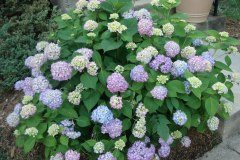 Pruning Hydrangeas – Advice by DesignScapes of NC