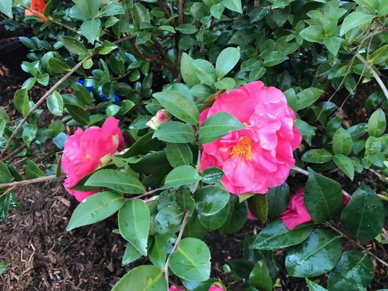 Winter watering, winter watering tips, water-wise gardening, winter gardening, evergreens, shrubs, camellias