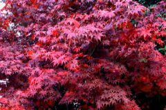 Marvelous Maples