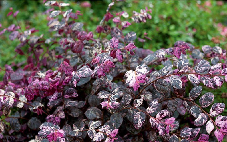 Raleigh Landscaping, Raleigh Landscape Contractors, Raleigh Garden Designers, Perennials, Fall Bloomers. Early Fall Bloomers, Fall Gardening, Loropetalum, Jazz Hands Variegated Loropetalum