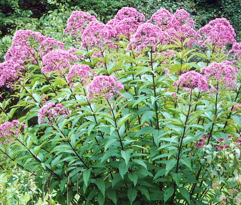 Raleigh Landscaping, Raleigh Landscape Contractors, Raleigh Garden Designers, Joe Pye Weed, Perennials, Fall Bloomers. Early Fall Bloomers, Fall Gardening