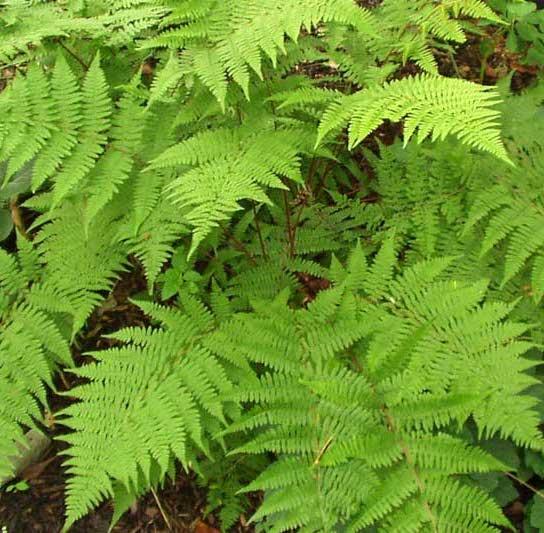 Raleigh Landscaping, Raleigh Landscape Contractors, Raleigh Garden Designers, Garden Design, Raleigh Landscapers, Landscaping, Ferns, Green Foliage, Lady Fern