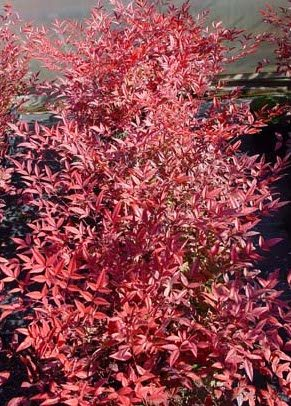 Raleigh Landscaping, Raleigh Landscape Contractors, Raleigh Garden Designers, Garden Design, Raleigh Landscapers, Landscaping, Pollinator Gardens, Pollinators, Fragrant Flowers, Scents of Spring, Scents of Summer, Senses, Sensory Gardens, Red Nandina