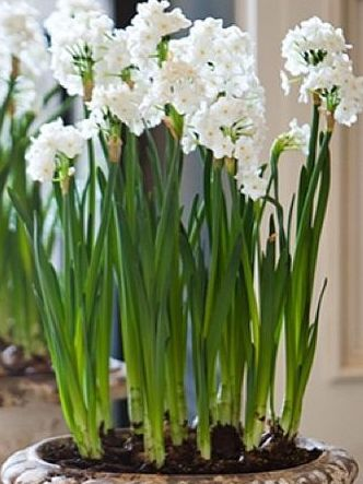 Paperwhites, Holiday Arrangements, Holiday Decorating, Christmas, Container Gardening
