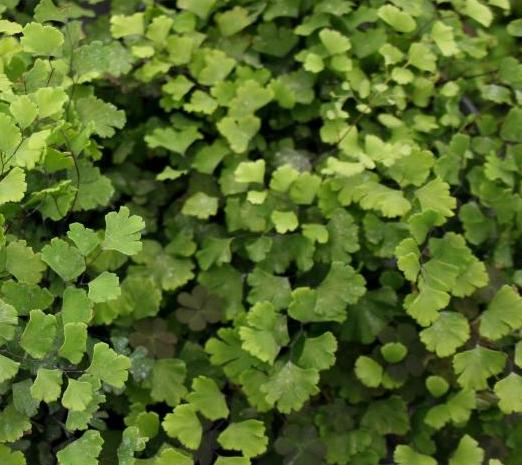 Raleigh Landscaping, Raleigh Landscape Contractors, Raleigh Garden Designers, Garden Design, Raleigh Landscapers, Landscaping, Ferns, Southern Maidenhair Free, Green Foliage