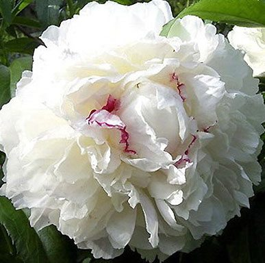 Raleigh Landscaping, Raleigh Landscape Contractors, Raleigh Garden Designers, Garden Design, Raleigh Landscapers, Landscaping, Pollinator Gardens, Pollinators, Peony, Peonies, Spring, Festiva Maxima Peony