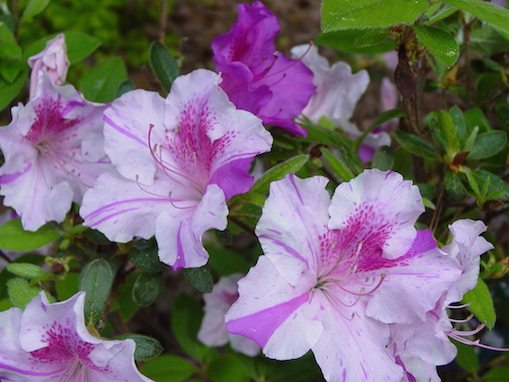 Designscapes of nc ltd landscaping raleigh nc designscapes of nc ltd - Care azaleas keep years ...