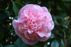 Winter Bloomers for Raleigh Gardens and Landscapes
