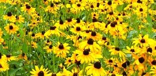 Raleigh Landscaping, Raleigh Landscape Contractors, Raleigh Garden Designers, Garden Design, Raleigh Landscapers, Landscaping, Pollinator Gardens, Pollinators, Pollinator Plants, Black Eyed Susans