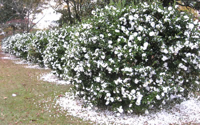 camellia-mine-no-yuki-400x250
