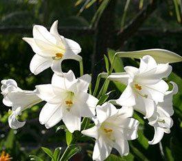 Raleigh Landscaping, Raleigh Landscapers, Raleigh Landscape Contractors, Easter Lily, Easter, Landscaping Raleigh. Raleigh Garden Designers, Spring