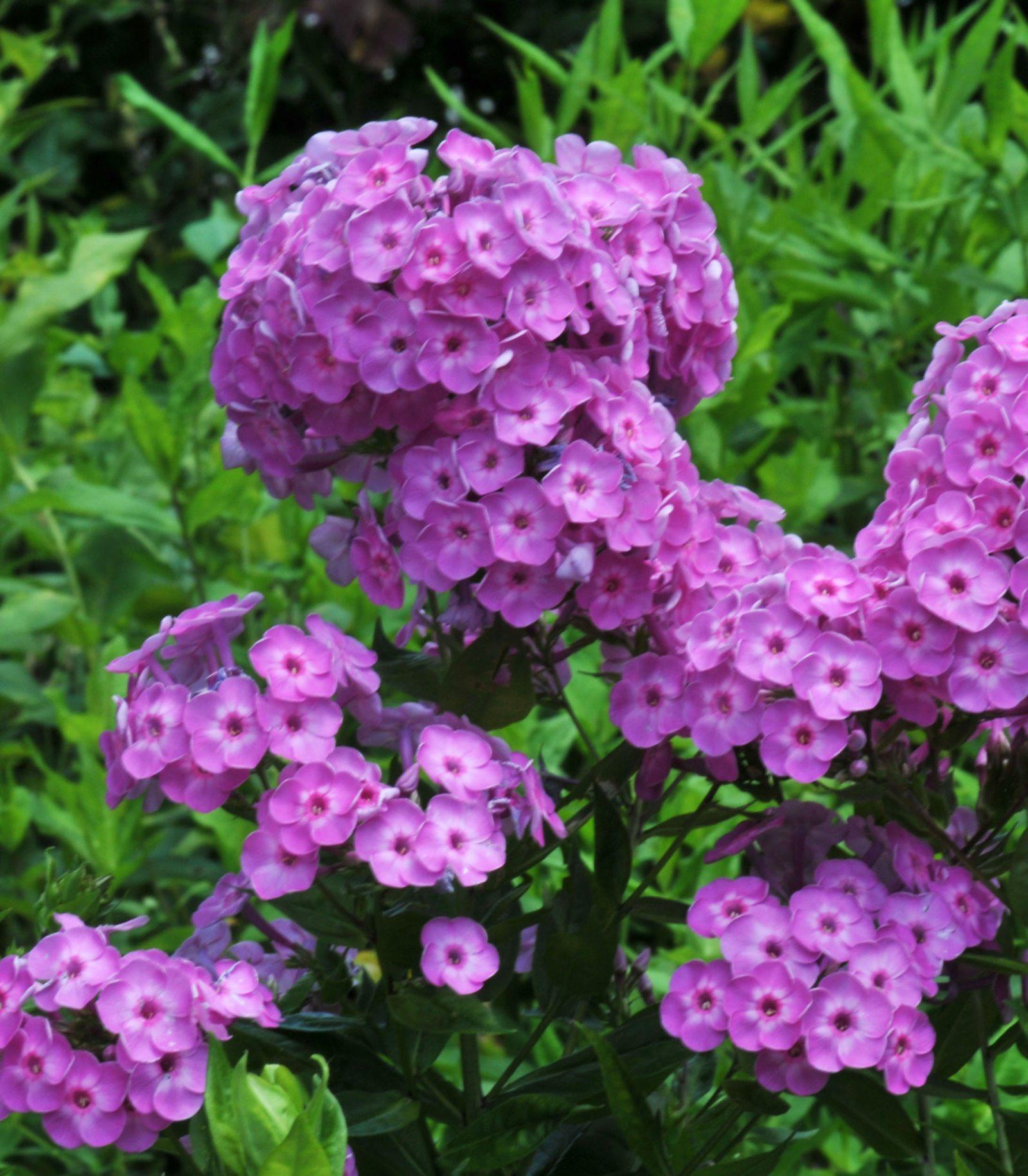 Фото низких многолетние цветы