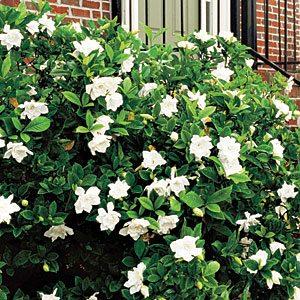 gardenia-bush-m-2