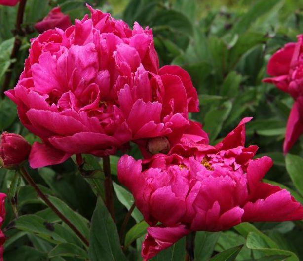 Raleigh Landscaping, Raleigh Landscape Contractors, Raleigh Garden Designers, Garden Design, Raleigh Landscapers, Landscaping, Pollinator Gardens, Pollinators, Peony, Peonies, Springtime, Karl Rosenfield