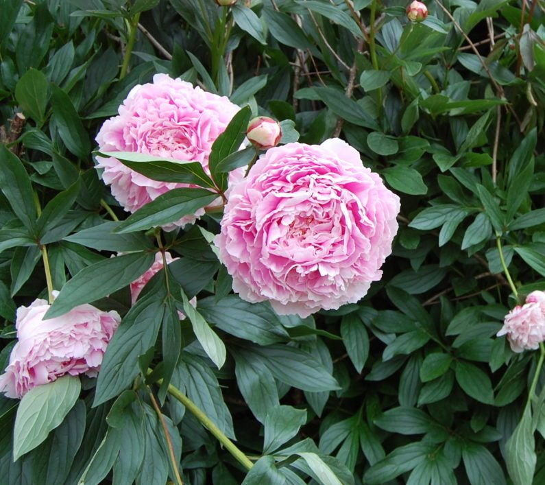 Raleigh Landscaping, Raleigh Landscape Contractors, Raleigh Garden Designers, Garden Design, Raleigh Landscapers, Landscaping, Pollinator Gardens, Pollinators, Peony, Peonies, Spring, Springtime