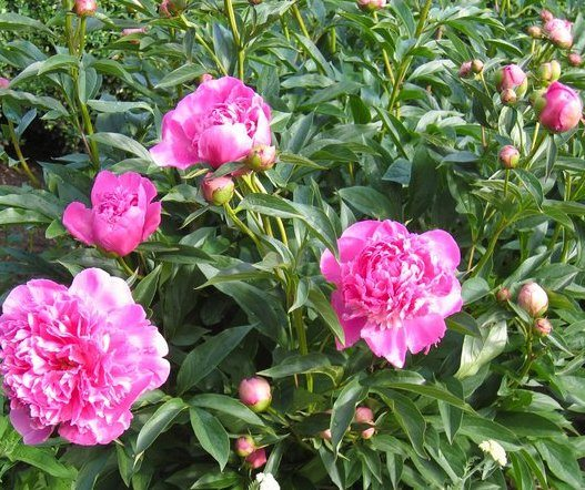 Raleigh Landscaping, Raleigh Landscape Contractors, Raleigh Garden Designers, Garden Design, Raleigh Landscapers, Landscaping, Pollinator Gardens, Pollinators, Fragrant Flowers, Peony, Peonies, Spring