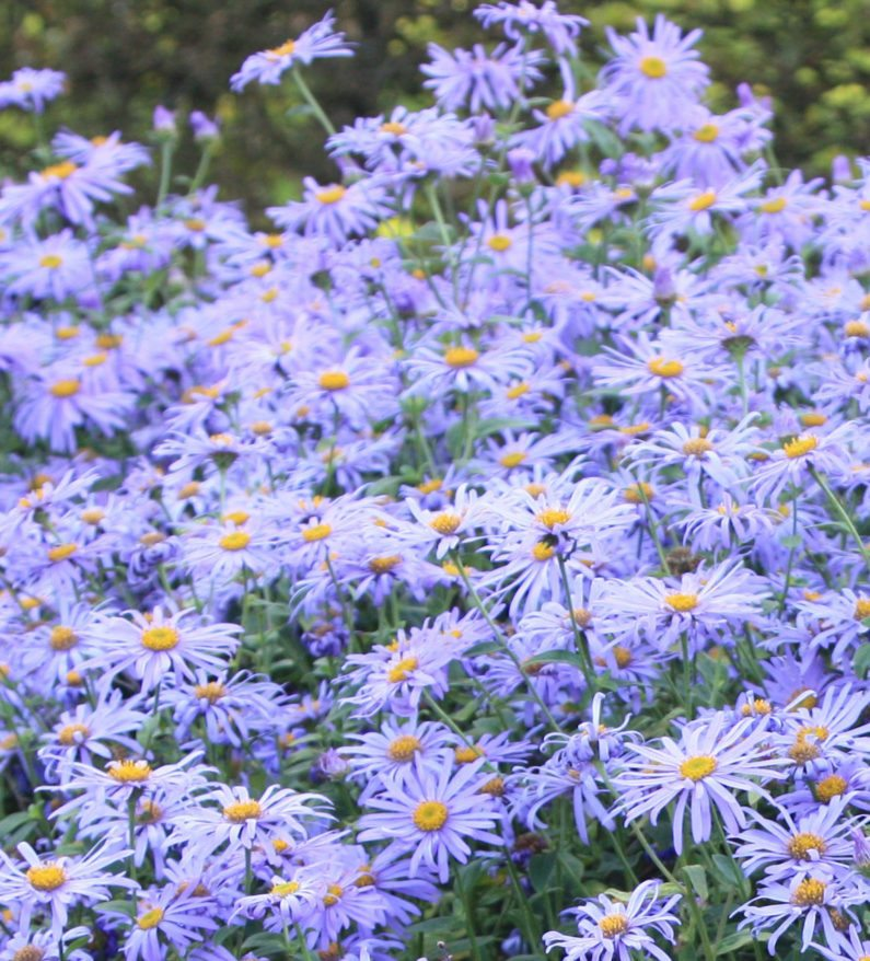 Raleigh Landscaping, Raleigh Landscape Contractors, Raleigh Garden Designers, Garden Design, Raleigh Landscapers, Landscaping, Pollinator Gardens, Pollinators, Pollinator Plants, Aster