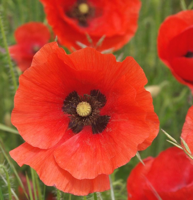 Raleigh Landscapers, Raleigh Landscaping, Pollinator Gardens, Pollinator Plants, Poppy, Poppies