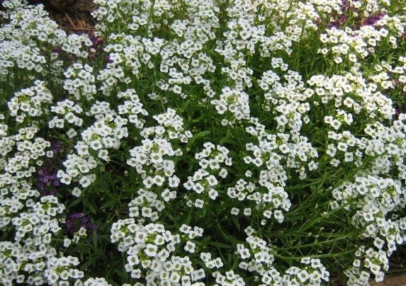 Raleigh Landscaping, Raleigh Landscape Contractors, Raleigh Garden Designers, Garden Design, Raleigh Landscapers, Landscaping, Pollinator Gardens, Pollinators, Pollinator Plants, Alyssum, Scents of Spring, Springtime, Fragrant Flowers