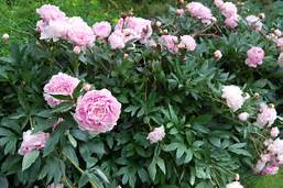 Raleigh Landscaping, Raleigh Landscape Contractors, Raleigh Garden Designers, Garden Design, Raleigh Landscapers, Landscaping, Pollinators, Peony, Peonies, Spring, Springtime