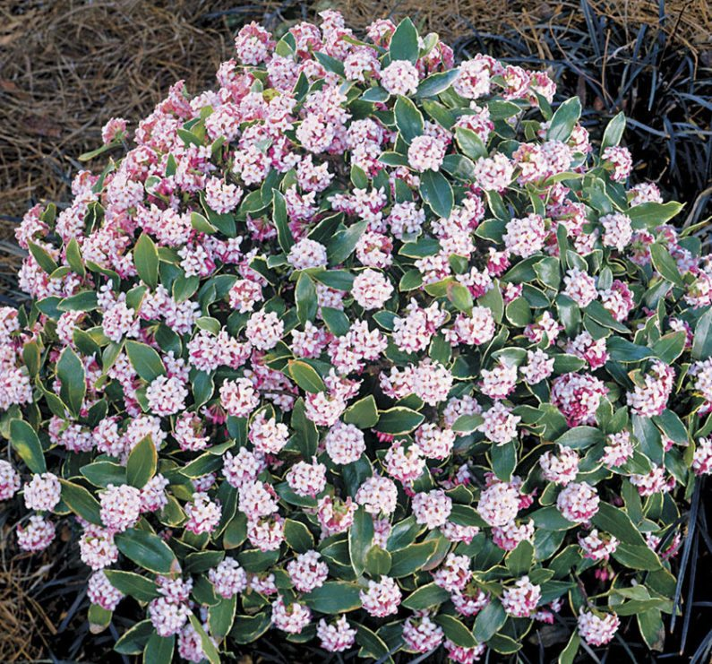 Raleigh Landscaping, Raleigh Landscapers, Raleigh Landscape Contractors, Raleigh Garden Designers, Raleigh Garden Design, Garden Design, Landscaping, Landscapers, Daphne, Variegated Daphne, Winter Bloomers